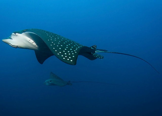 A Spotted Eagle Ray