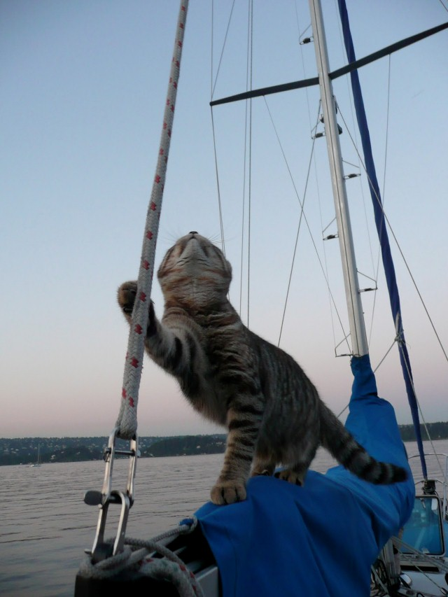 Cat on boom of boat, cats make great sailors