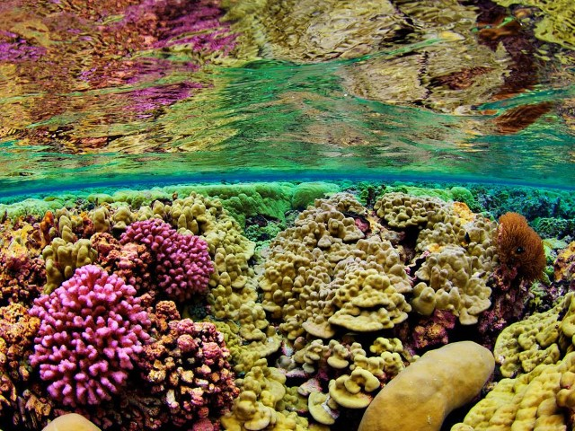 Corals, Kingman Reef