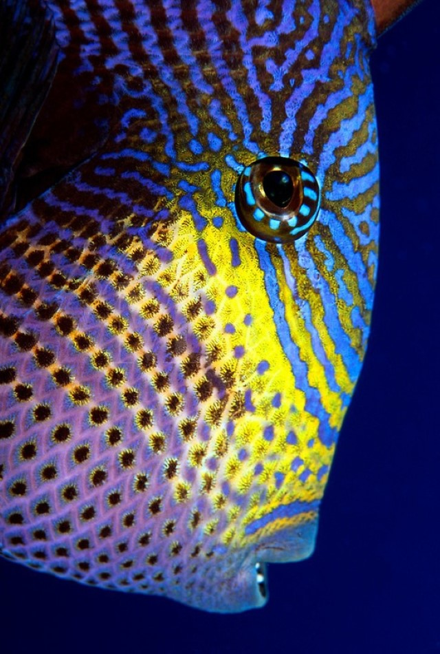The black durgon [Melichthys niger] is a member of the triggerfish family
