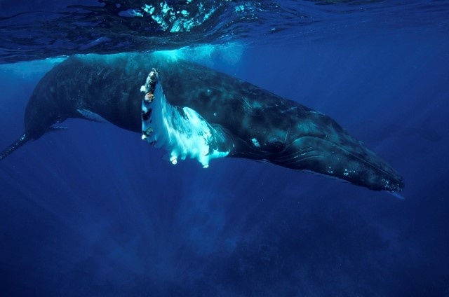 humpback_whale_underwater