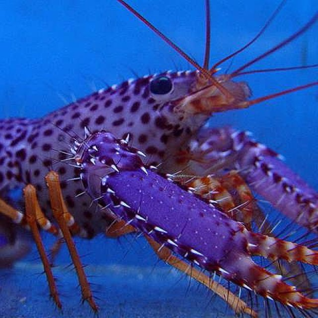 reef lobster