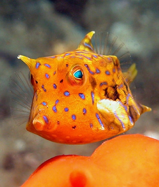 thorny cow fish